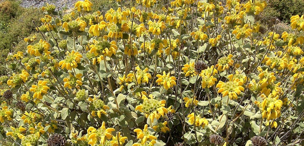 The Misnomer Comes From The Appearance Of Its Leaves, Which Are Pale Green  And Soft, Like Those Of A Sage Plant.
